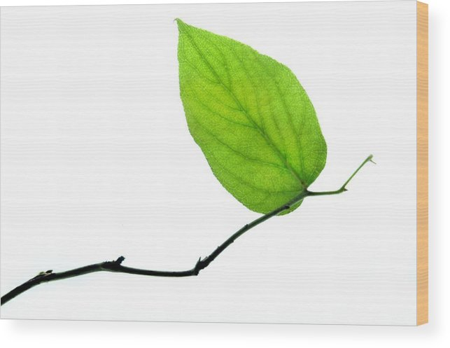Leaf Wood Print featuring the photograph Lone Leaf by Dan Holm