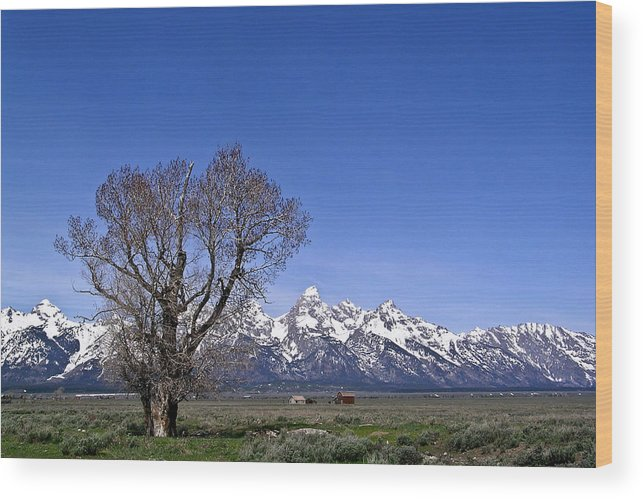 Tree Wood Print featuring the photograph Lone Tree At Tetons by Douglas Barnett
