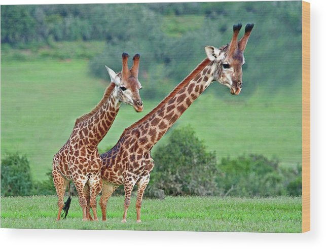 Animals Wood Print featuring the digital art Long Necks Together by Bruce Iorio