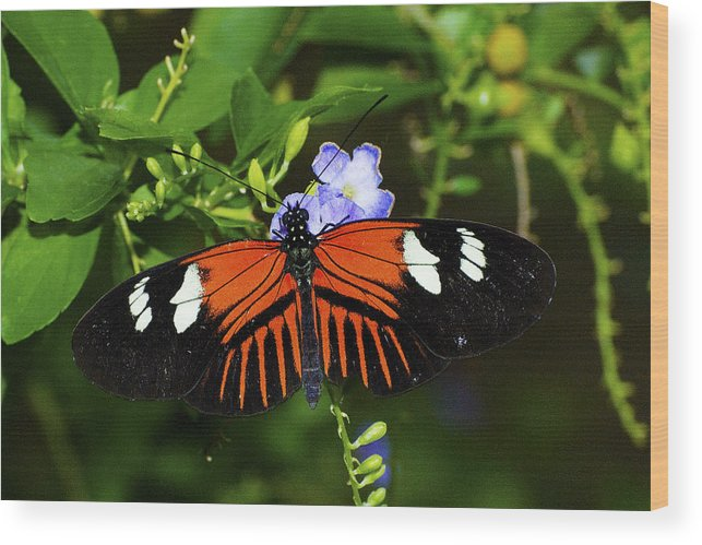 Butterfly Wood Print featuring the photograph Looking Fierce by Richard Henne