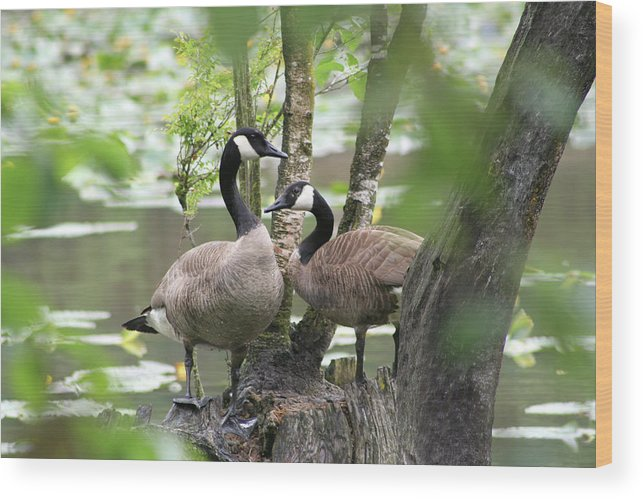 Geese Wood Print featuring the photograph Loving Couple by Monte Arnold