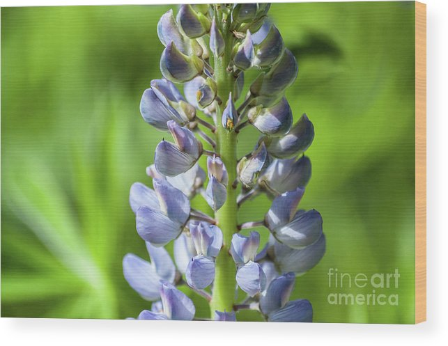 Lupine Wood Print featuring the photograph Lupinus Polyphyllus by Iluphoto