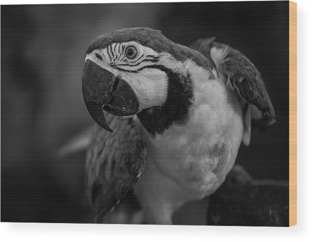 Macaw Wood Print featuring the photograph Macaw Portrait In Black And White by Julian Regan