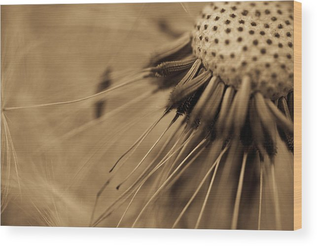 Dandelion Wood Print featuring the photograph Macro - Dandelion by Danielle Silveira