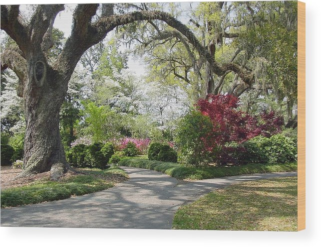 Live Oak Wood Print featuring the photograph Magical Wonderland by Suzanne Gaff