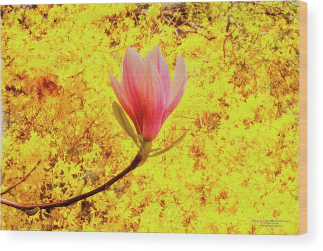 Flower Wood Print featuring the digital art Magnolia Flower by Christopher Eng-Wong
