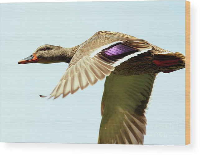 Bird Wood Print featuring the photograph Mallard In Flight . 40d5450 by Wingsdomain Art and Photography