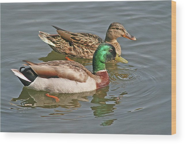 Pair Of Mallards Swimming Wood Print featuring the photograph Mallard Pair Swimming, Waterfowl, Ducks by Mick Flodin