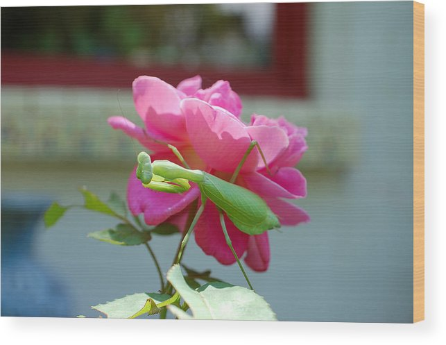 Photography Wood Print featuring the photograph Mantis And Rose by Heather S Huston