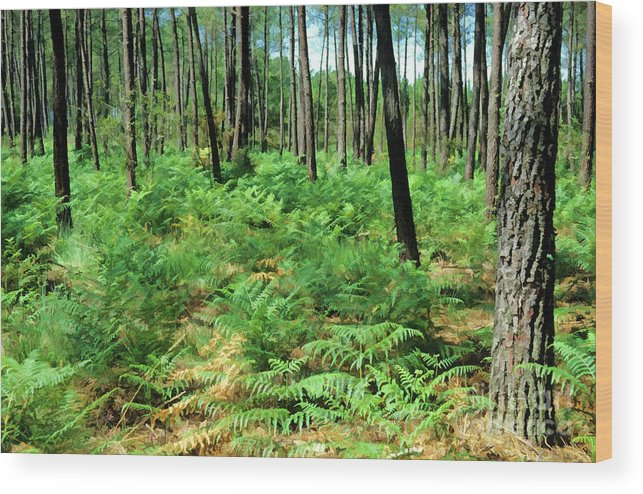 Aquitaine Wood Print featuring the photograph Maritime Pine Trees by Sami Sarkis