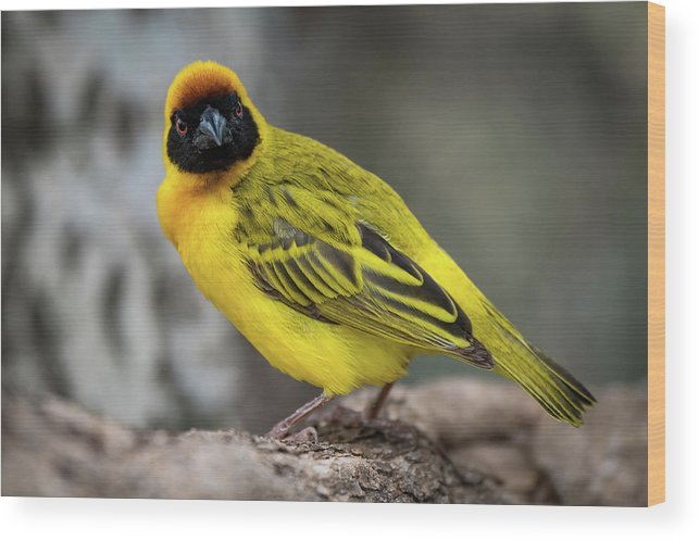 Africa Wood Print featuring the photograph Masked Weaver Bird Facing Camera On Log by Ndp