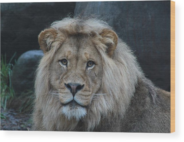 Lion Wood Print featuring the photograph Meal Time by Laddie Halupa