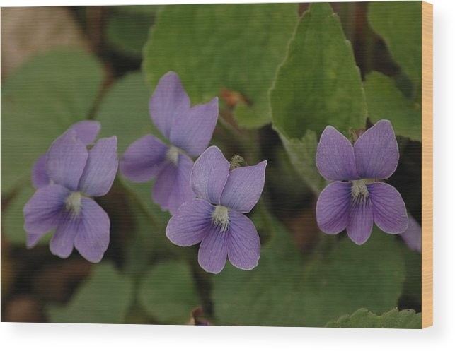 Usa Wood Print featuring the photograph Michigan Purple Spring Flowers by LeeAnn McLaneGoetz McLaneGoetzStudioLLCcom