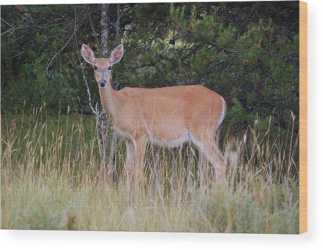 Deer Wood Print featuring the photograph Michigan Whitetail Doe by Jennifer Englehardt