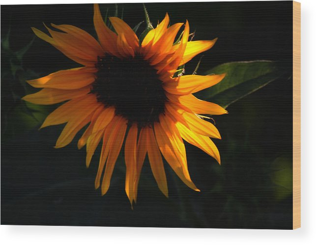 Sunflower Wood Print featuring the photograph Miniature Sunflower by Martin Morehead