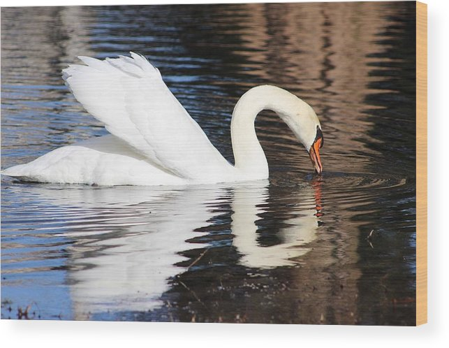 Swan Wood Print featuring the photograph Mirror Image by Tonya Peters