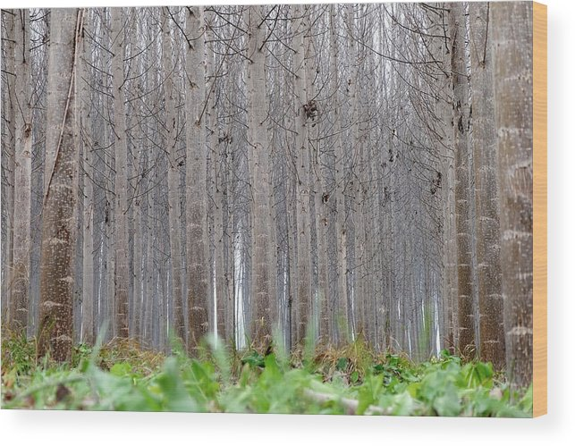 Color Wood Print featuring the photograph Mistery Poplars Woods by Guido Montanes Castillo