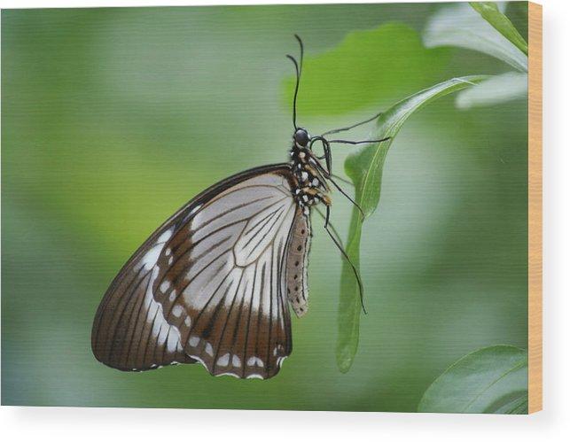Mocker Wood Print featuring the photograph Mocker Swallowtail by Jeff VanDyke