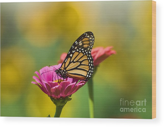 Monarch Butterfly Wood Print featuring the photograph Monarch 9 by Edward Sobuta