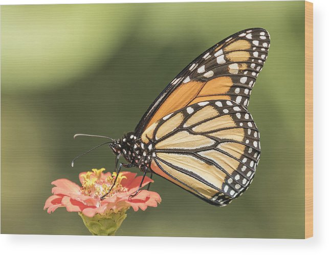 Monarch Butterfly Wood Print featuring the photograph Monarch On Zinnia 4-2015 by Thomas Young
