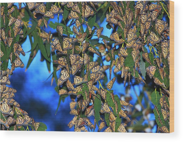 Monarch Cluster Wood Print featuring the photograph Monarchs by Beth Sargent
