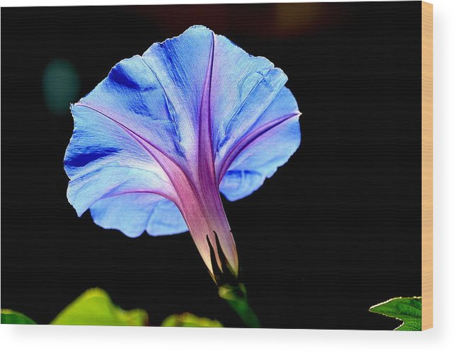 Morning Glory Wood Print featuring the photograph Morning Glory by Kerry Reed