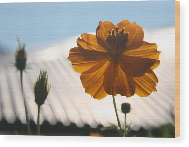 Orange Flower Sunlight Morning Bhutan Wood Print featuring the photograph Morning Sunlight by Linda Russell