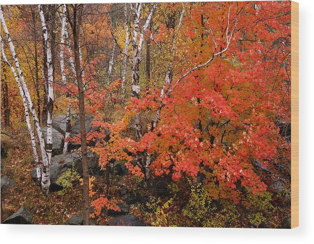 Birch Trees Wood Print featuring the photograph Mother Nature's Palette by Linda McRae