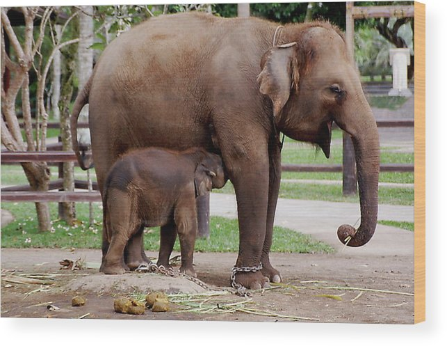 Mother Elephant And The Elephant Calf Wood Print featuring the photograph Mother by Yury Bashkin