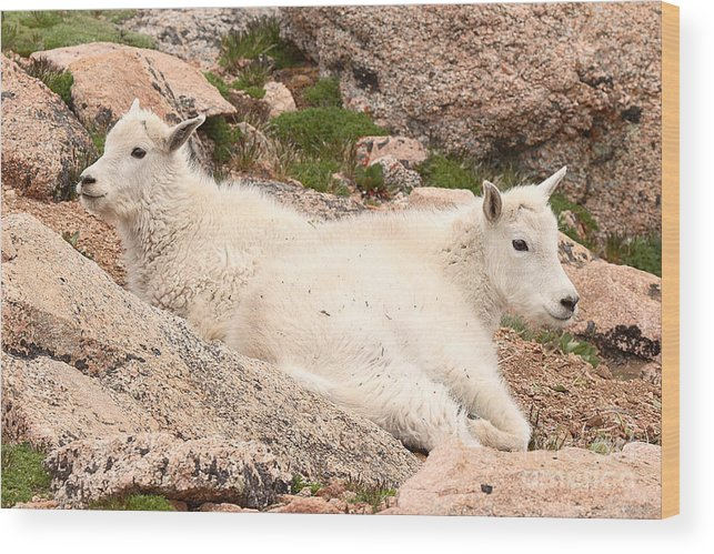 Mountain Goat Wood Print featuring the photograph Mountain Goat Twins by Max Allen