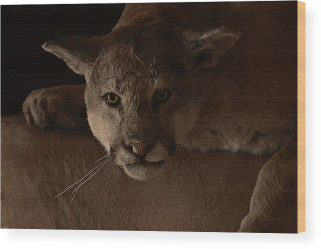 Cougar Wood Print featuring the photograph Mountain Lion A Large Graceful Cat by Christine Till