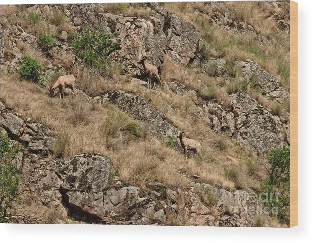 Sheep Wood Print featuring the photograph Mountain Sheep Hell Canyon by Robert Bales