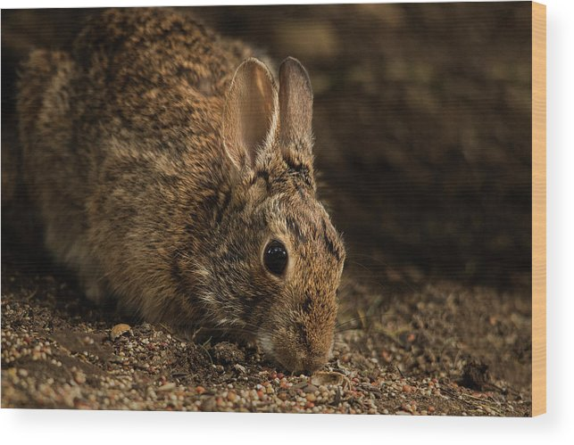 Animal Wood Print featuring the photograph Mr. B by Bob Cournoyer