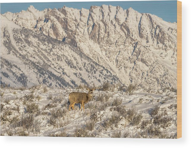 Mule Deer Wood Print featuring the photograph Mule Deer Buck In Winter Sun by Yeates Photography