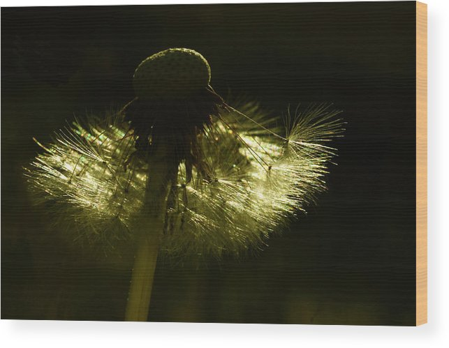 Dandelion Wood Print featuring the photograph Natural Gold by Barbara White