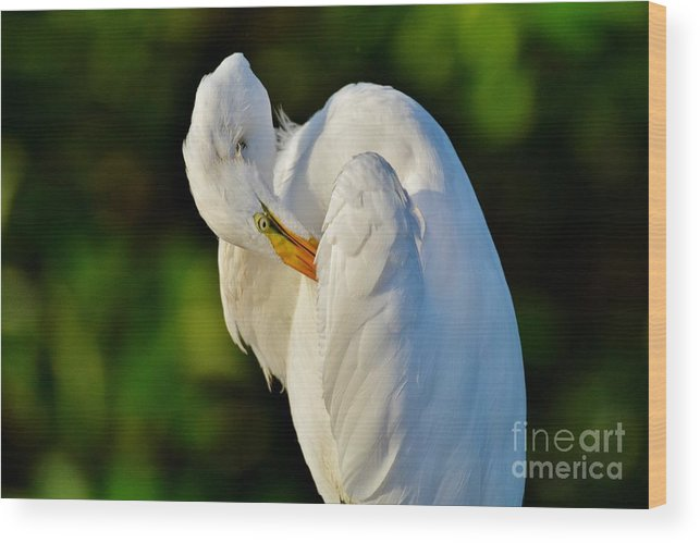 Great White Egret Wood Print featuring the photograph Natures Angel by Julie Adair