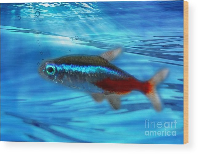 Macro Wood Print featuring the photograph Neon Tetra by Barbara S Nickerson