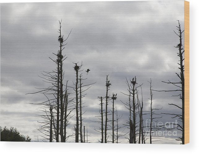 Wildlife Wood Print featuring the photograph Nesting Blue Herons by Erin Paul Donovan