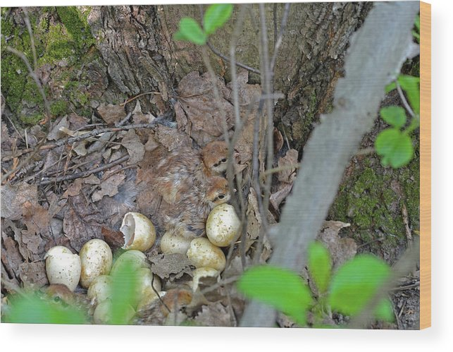 Ruffed Grouse Wood Print featuring the photograph Newly Hatched Ruffed Grouse Chicks by Asbed Iskedjian