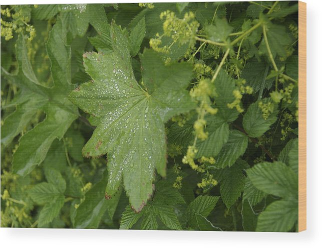 Abundance Wood Print featuring the photograph Norway, Hidra, Water Droplets by Keenpress