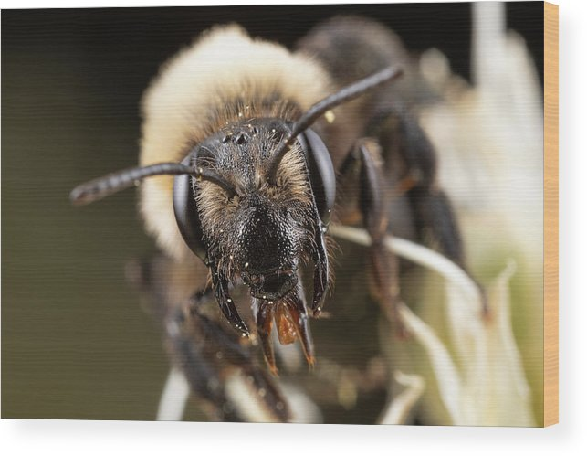 Macro Bee Bees Apiary Extreme Closeup Close Up Close-up Ma Mass Massachusetts Insect Brian Hale Brianhalephoto Eyes U.s.a. Usa Newengland New England Face Only A Mother Could Love Proboscis Wood Print featuring the photograph Only A Mother Could Love by Brian Hale