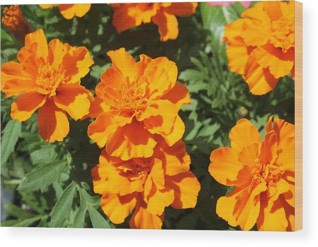 Landscape Wood Print featuring the photograph Orange Marigolds In Bloom by Debi York