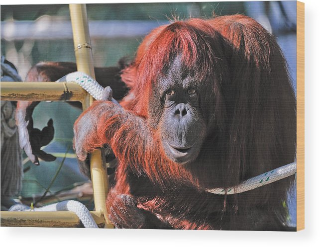 Orangutan Wood Print featuring the photograph Orangutan Smile by Tom Dowd