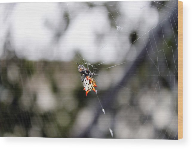 Spider Photography Wood Print featuring the photograph Orb Weaver Spider3 by Evelyn Patrick