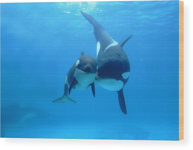 Mp Wood Print featuring the photograph Orca Mother And Newborn by Hiroya Minakuchi