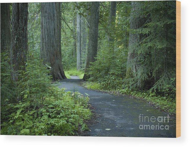 Grove Wood Print featuring the photograph Path Through The Cedars by Idaho Scenic Images Linda Lantzy
