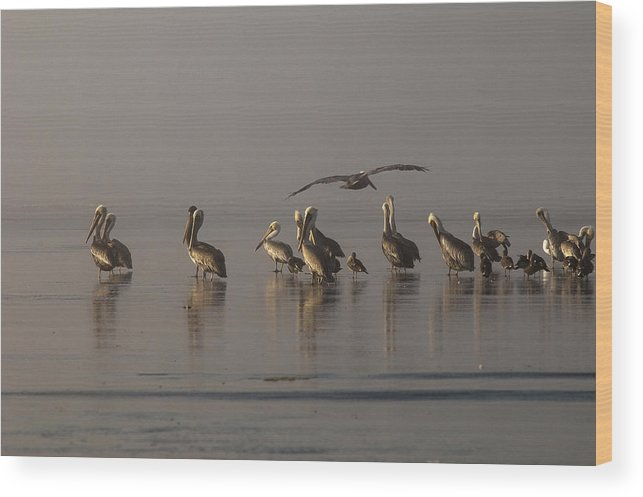 Beach Wood Print featuring the photograph Pelicans On Beach by Robert Potts