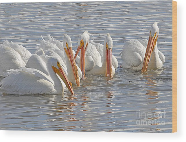 Bird Wood Print featuring the photograph Pelicans On The Prowl by Dennis Hammer