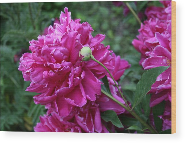 Flowers Wood Print featuring the photograph Peony Protege by Alan Rutherford