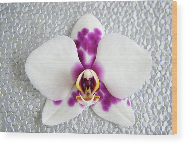 Nature Wood Print featuring the photograph Phalaenopsis Yu Pin Panda by Julia Hiebaum
